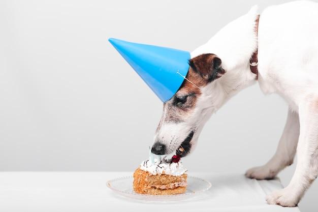 Cachorro fofo comendo bolo de aniversário saboroso