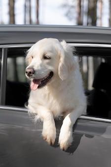 Cachorro fofo de ângulo baixo no carro