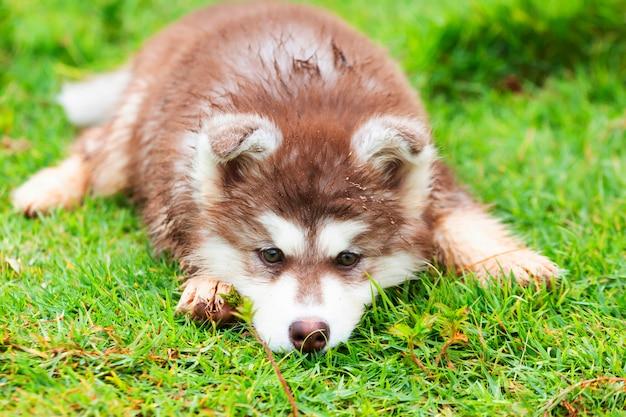 Cachorro fofo do husky siberiano