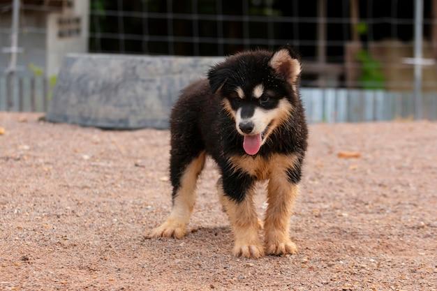 Cachorro fofo do malamute do alasca