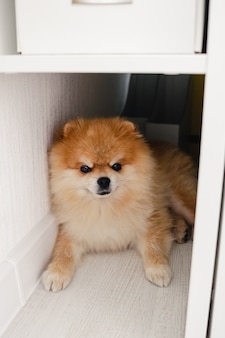 Cachorro fofo e fofo da pomerânia, deitado no chão, olhando diretamente para a câmera, escondido atrás da cama
