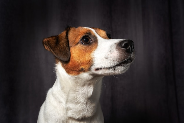 Cachorro fofo jack russell terrier