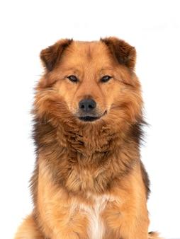 Cachorro fofo marrom close-up em um fundo branco e desfocado