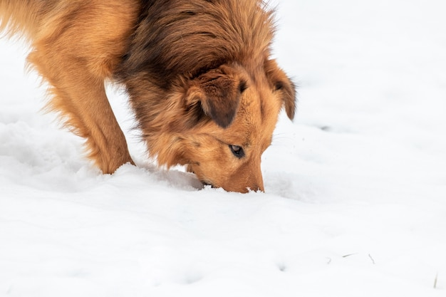 Cachorro fofo marrom procurando algo na neve