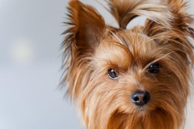 Cachorro fofo olhando para a câmera isolada em uma parede branca