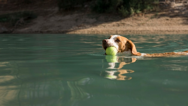 Cachorro fofo segurando uma bola e nadando ao ar livre