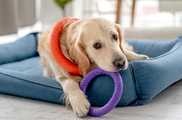 Cachorro golden retriever brincando com um anel de mordida em casa