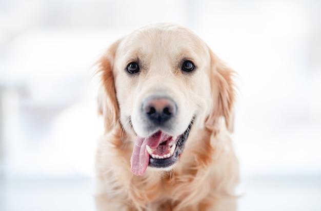 Cachorro golden retriever com a boca aberta olhando para a câmera isolada no branco