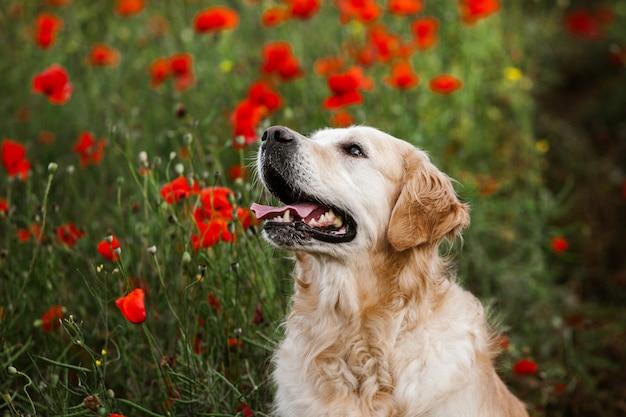 Cachorro golden retriever fofo no campo de papoula