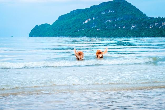 Cachorro golden retriever relaxando, brincando no mar para se aposentar ou aposentado