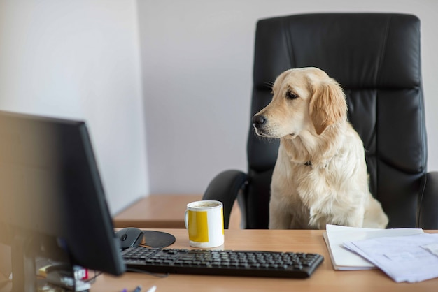 Cachorro golden retrievers trabalhando no escritório