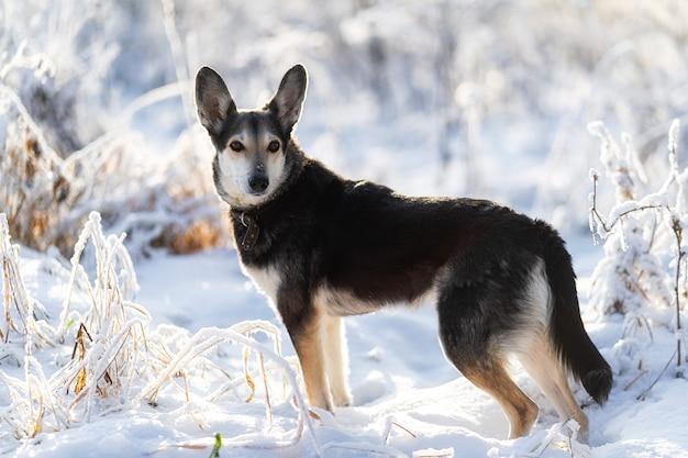 Cachorro grande preto e branco fofo, vira-lata