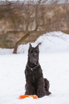 Cachorro grande riesenschnauzer senta-se na neve