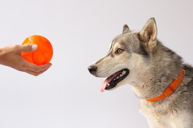 Cachorro hasky pronto para brincar e se divertir com o dono e o brinquedo bola, isolado no fundo branco