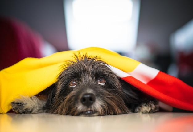 Cachorro havanese cinza fofo deitado