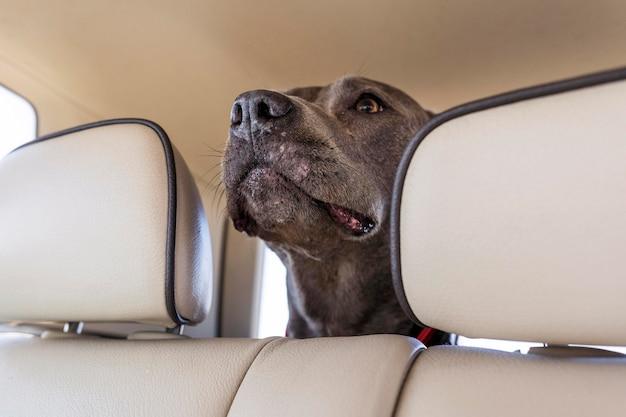 Cachorro hospedado em um carro enquanto viaja com seus donos