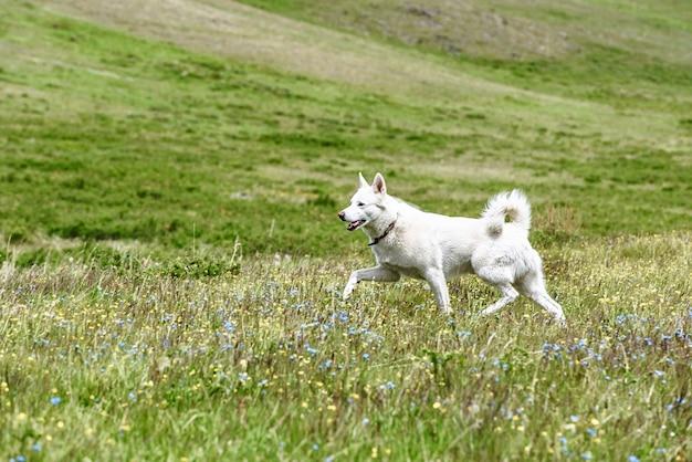 Cachorro husky branco correndo em um prado verde
