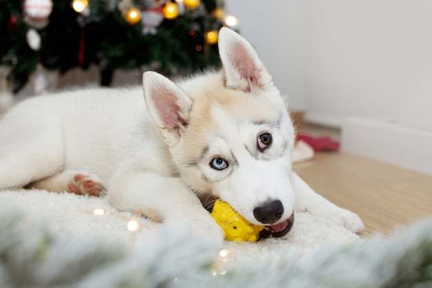 Cachorro husky brincalhão mordendo um brinquedo sob as luzes da árvore de natal.