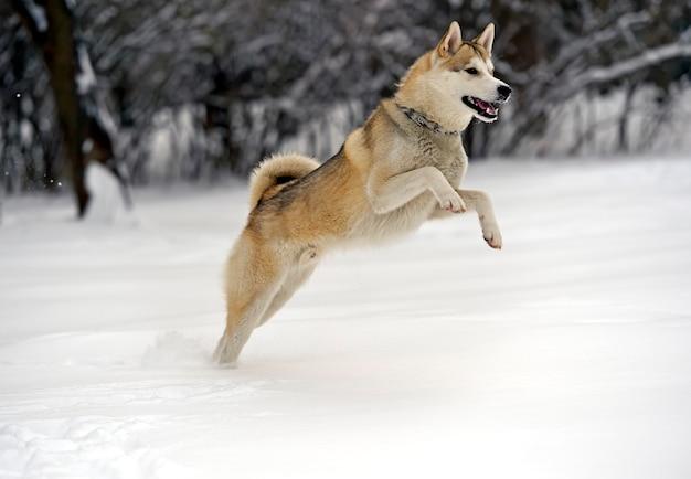 Cachorro husky para passear no parque