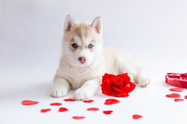 Cachorro husky siberiano deitado com coração de rosa vermelha dia dos namorados