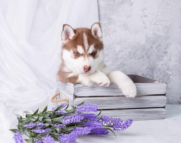 Cachorro husky siberiano em um fundo com flores de lavanda