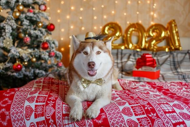 Cachorro husky siberiano no quarto perto da árvore de natal ano novo