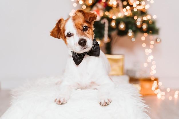 Cachorro jack russell com arco em casa perto da árvore de natal
