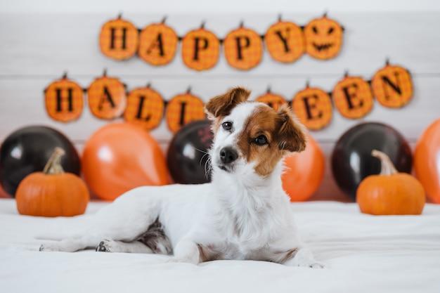 Cachorro jack russell em casa com enfeites de halloween