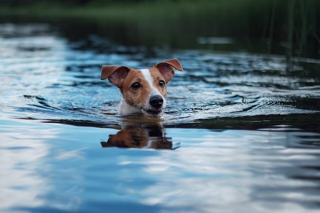 Cachorro, jack russell nadando no lago