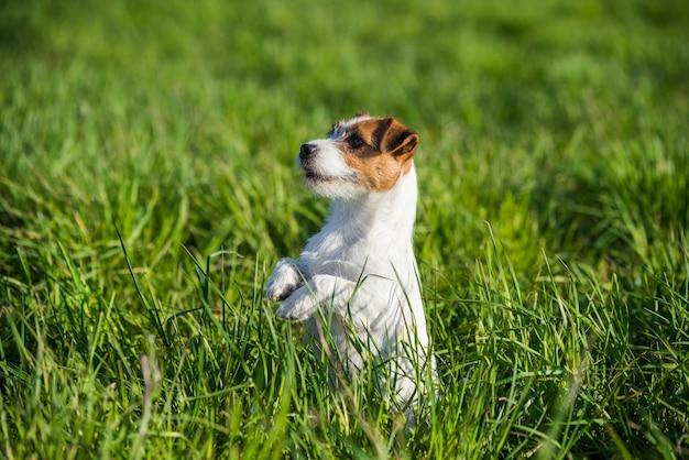 Cachorro jack russell sentado na grama verde sorrindo