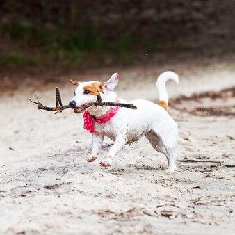 Cachorro jack russell terrier brincando com um galho na praia