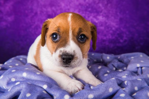 Cachorro jack russell terrier em um roxo