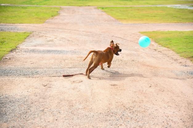 Cachorro jogando ao ar livre e salta para uma bola.