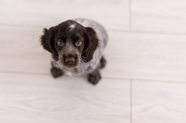 Cachorro jovem springer spaniel brincando com um brinquedo no chão de casa