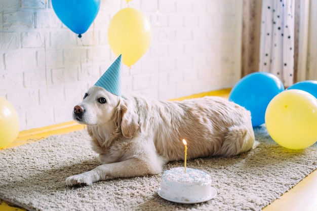 Cachorro labrador golden retriever comemora aniversário com chapéu e bolo