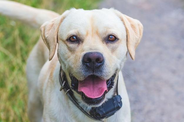 Cachorro labrador jovem com coleira eletrônica olhando direto para a câmera