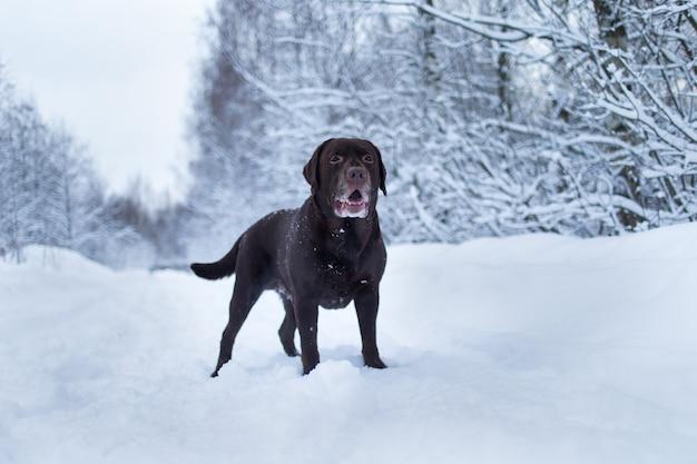 Cachorro labrador retriever de chocolate parado na neve