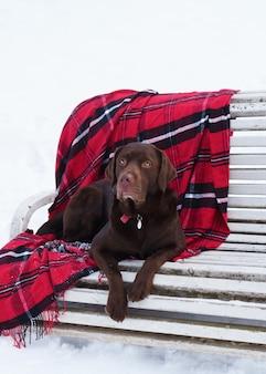 Cachorro labrador retriever marrom em xadrez vermelho