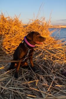 Cachorro labrador retriever na margem do mar ou lago sentado na grama seca ao pôr do sol