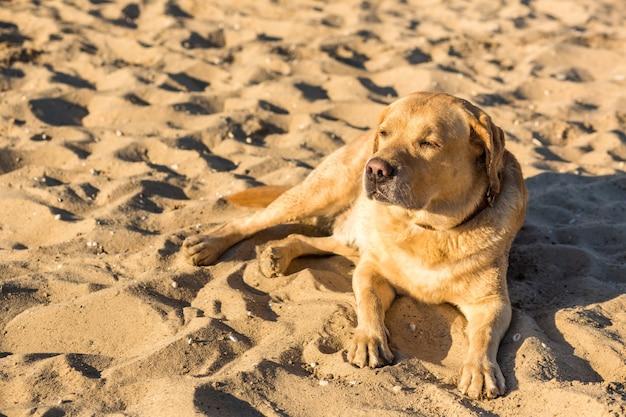 Cachorro labrador retriever na praia