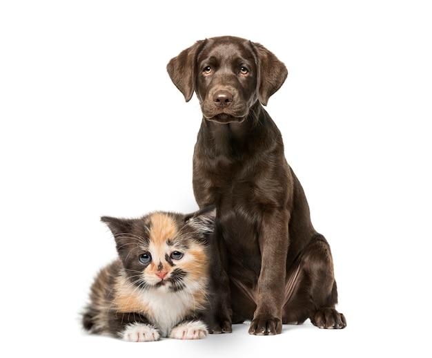 Cachorro labrador retriever sentado, gatinho europeu de pêlo curto