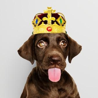 Cachorro labrador usando coroa