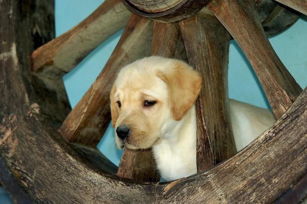 Cachorro labrador