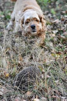 Cachorro latindo para ouriço na floresta