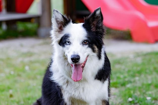 Cachorro lindo com cores de olhos diferentes em um parque