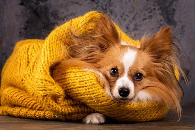 Cachorro lindo com um suéter, close-up