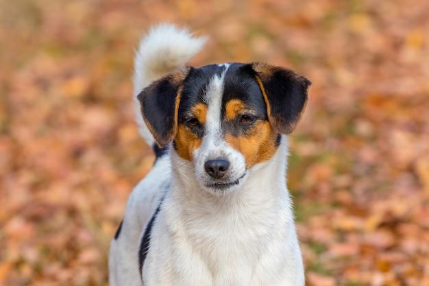 Cachorro malhado branco em um fundo de folhas de outono, retrato de um cachorro