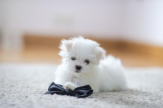 Cachorro maltês bonito branco, 2 meses de idade olhando para nós
