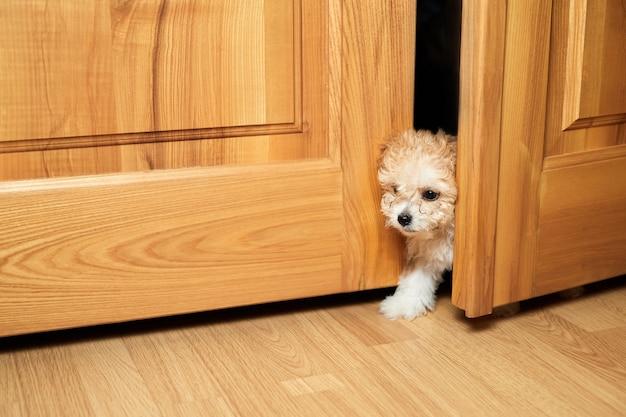 Cachorro maltipoo espiando pela fenda da porta