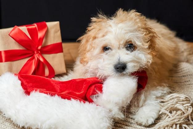 Cachorro maltipoo mastigando chapéu de papai noel perto de uma caixa de presente de natal